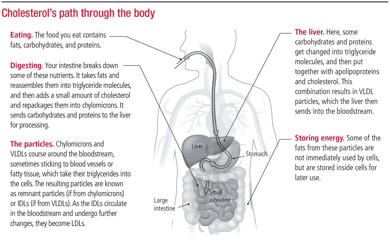 How it s made Cholesterol production in your body Harvard Health