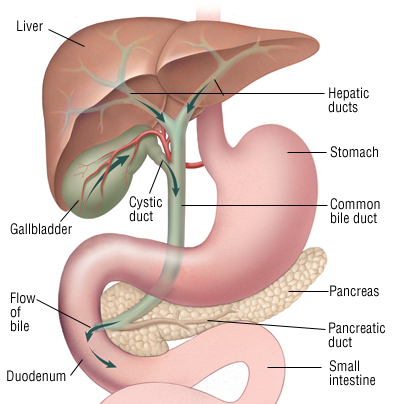 gallbladder and bile duct cancer - harvard health, Skeleton